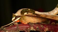Sphinx or Hawk moth, Adhemarius gannascus, Sphingidae (Ecuador Megadiverso) Tags: naturaleza macro southamerica nature fauna butterfly ecuador wildlife natur moth lepidoptera papillon inseto sphingidae equateur makro mariposa sphinxmoth arthropoda insetto insecte schmetterling equador biodiversity arthropod insecto hawkmoth falena insecta biodiversidad polilla motte quateur sdamerika neotropical neotropics taxonomy:class=insecta taxonomy:order=lepidoptera taxonomy:family=sphingidae adhemariusgannascus      sphinxorhawkmoth