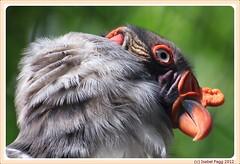 King Vulture - Sarcoramphus papa (Isabel Fagg) Tags: berlin bird zoo vulture vogel berlijn dierentuin koningsgier