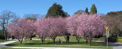 Early Spring blossoms near Blundells Cottage (spelio) Tags: canberra act lake burley griffin walk sep 2012 spring stroll scenic landscape australia good australiancapitalterritory fave