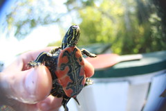teenie turtle (Maicdlphin) Tags: macro cute turtle fisheye tiny ping pong lakeofthewoods lakereptile