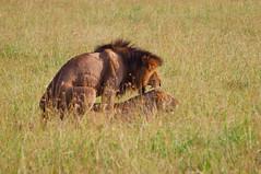 Conjugating Lions in Wild (terbeck) Tags: couple kenya wildlife safari lions afrika kenia pairing eastafrica maasaimara conjugate terbeck flickrbigcats