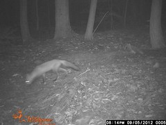 A Busy Night on Distant Hill - Visitor #1 (Distant Hill Gardens) Tags: nature wildlife trail fox redfox vulpesvulpes trailcamera motiondetectingcamera