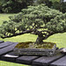 Bonsai giapponese