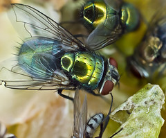 Flies (BeetleBrained) Tags: macro nature photoshop lens 50mm nikon focus tubes insects flies stacking extension nikkor cs5 d5100