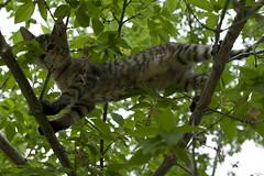 Lola, Tree-2 (1537) (VFR Rider) Tags: cats digital cat canon kitten kittens tabbycat tabbykitten