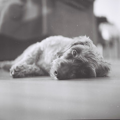 Close Up ! (santisss) Tags: dog closeup kodak tmax yashica teckel tmax100 yashicad kodaktmax yashinon closeup1 highqualityanimals