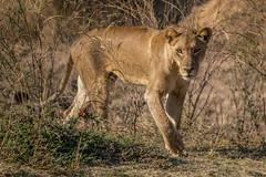 Wild Lionesses - South Luangwa, Zambia (virtualwayfarer) Tags: africa travel wild nature nationalpark hunting lion safari wildanimal lioness bigcats zambia t3i southluangwa zambian 600d alexberger virtualwayfarer