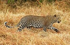 Leopard Spots (chasedekker) Tags: flickrbigcats