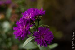 Purple Flowers: Three (Cizsel) Tags: plant flower color 50mm flora purple pentacon f18 18 50 challenges themes