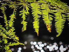 201_2228_19-09-12 (homewurks) Tags: light fern green against john manchester photography canal back warrington ship bokeh jour photograph backlit lit hopkins contrejour contre bokehstandard johnhopkinsphotography homewurks
