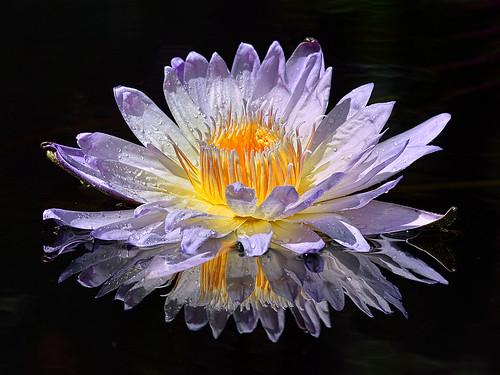 Nymphea Ambrosia Water Lily, Fairchild Tropical Botanic Garden.