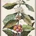 Coffee, Coffea Arabica [front]