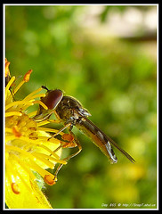 365 Day Photo Project Day 865: Feeding Hoverfly (Riquochet) Tags: flowers yellow wildlife insects hoverfly syrphidae hoverflies blackandyellow aposematic parasyrphuspunctulatus