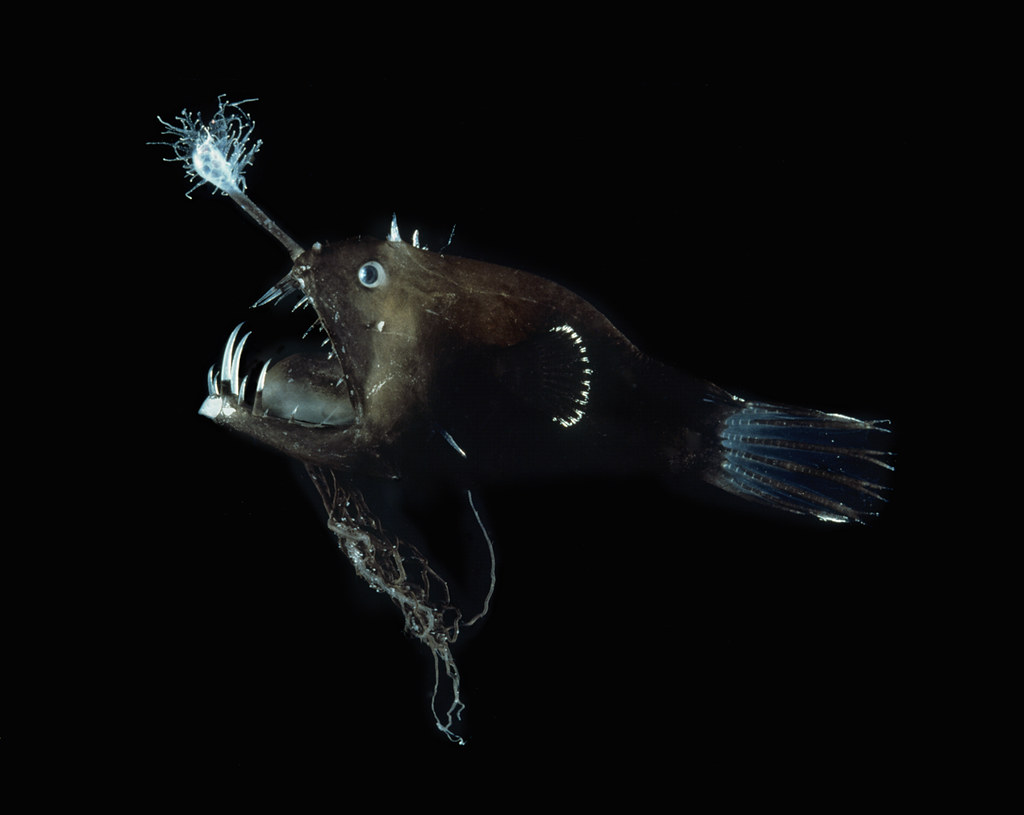 The world 39 s best photos of linophryne flickr hive mind for Angler fish size