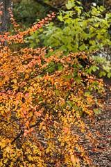 (Fjola Dogg) Tags: autumn tree fall nature canon iceland islandia fallcolors haust sland nttra tr 2012 selfoss 50d canon50d fjoladogg tryggvagarur fjladgg authumncoklors