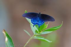Blue Swallowtail (Arizphotodude) Tags: arizona nature butterfly wings nikon meetup bokeh az 300mm nikkor 2012 ariz bta d7k d7000 nikond7000 gilbertmeetup