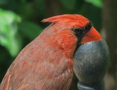 Northern Cardinal (mahar15) Tags: bird nature birds closeup outdoors cardinal wildlife malecardinal northerncardinal malenortherncardinal