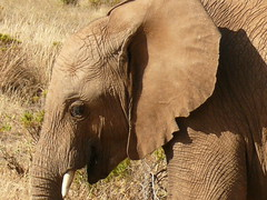 Elephant at Samburu ! (Mara 1) Tags: africa kenya samburu wildlife wild head ear eye tusk outdoors sunny shadows