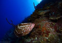 Marilyn's Cut, Little Cayman (jcl8888) Tags: cayman scuba diving nikon d7200 nauticam tokina 1017mm grouper travel nature