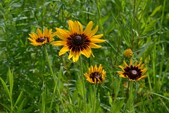 (Linda Petrich) Tags: plant flowers wild yellow petals green