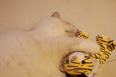 Canon_20160819003 (Snowy Olaf) Tags: kitten britishlonghair       feliscatus   canon eos400d ef50mmcompactmacro f25