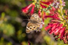 Butterfly (mojave955) Tags: california   unitedstatesofamerica northamerica usa westcoast    norcal northerncalifornia  santacruz santacruzcounty ucsc ucsantacruz universityofcaliforniasantacruz arboretum ucscarboretum  californiawildlife  canon 7dmarkii