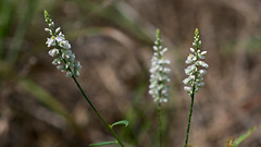 Polygala verticillata (Eric Hunt.) Tags: polygonaceae flower whirledmilkwort polygalaverticillata white polygala