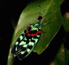Chalcosiine Day-flying Moth (Erasmia pulchella, Chalcosiinae, Zygaenidae) (John Horstman (itchydogimages, SINOBUG)) Tags: insect macro china yunnan itchydogimages sinobug moth lepidoptera chalcosiinae zygaenidae tweet explore topf25 topf50 fbm
