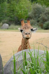 Tu veux ma photo ! (Johanna Viala) Tags: girafe pzp parczoologiquedeparis zoodevincennes animaux