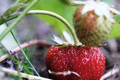 gift of nature (kinaaction) Tags: strawberry food fruit nature red plant sonyilce6000 redfruit gardening