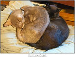 Old Catball (Sherwood Harrington) Tags: pets cats fonzie guinness fawnabyssinian sableburmese cuddle