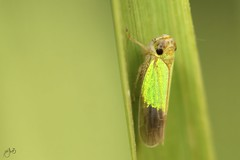 IMG_7451 (Jamil-Akhtar) Tags: canon6d canonmpe65mmf28 nature macro insect islamabad pakistan leafhopper