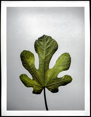 I'm starting to grasp why the fig is so revered (mkberquist) Tags: film instantfilm peelapart fuji fp100c fp100c45 4x5 largeformat colorfilm fig figleaf leaf botanical stilllife graflex speedgraphic presscamera fujifilm figtree
