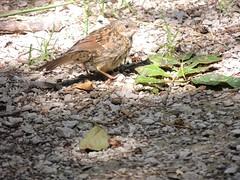 Dunnock - juvenile (Turtlerangler) Tags: dunnock bird leightonmoss cumbria uk