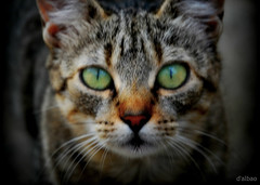 De gata (Franco DAlbao) Tags: francodalbao dalbao nikond60 gato cat ojos eyes mirada look verde green animal felino felix feline bigotes whiskers