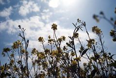 L1008150c (haru__q) Tags: leica m8 leitz summaron field mustard  sky   cloud