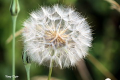 To blow or not to blow? That is the question! (alpenfrankie) Tags: canon eos 1100d dandelion nature