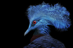 Krontaube (ellen-ow) Tags: krontaube taube wirbeltiere kiefermuler tier vogel bird blau schwarzerhintergrund nikond4 ellenow