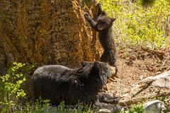 Look at me mom (ChicagoBob46) Tags: blackbear bear cub coy cuboftheyear yellowstone yellowstonenationalpark nature wildlife ngc