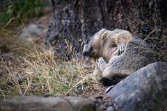 _DSC6338.jpg (Pixelkeeper) Tags: murmeltier wildlife