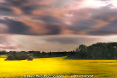 canola field (light shift) Tags: sunset canola clouds streaming golden shimmy shimmer stormy summersky eveningsky night dusk goldenhour farmer farm fields borealforest kevinwahl lightshift layers