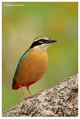 Indian Pitta (Dhairya Jhaveri) Tags: pitta india wildlife nature wildlifephotography wild monsoon songbird colors canon tam green