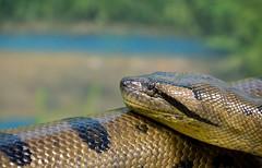 anaconda2 (Miss_Rosemarie) Tags: anaconda snake zoo herpetology culebra greenanaconda