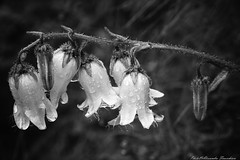Drops ... (alessandrafinocchiaro67) Tags: monochrome black white nikond750 fx flower nature nikonflickraward drops nicefeelings