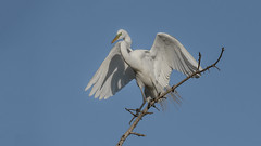 Great Egret (nikunj.m.patel) Tags: egret wadingbirds birds wildlife nature photography nikon avian