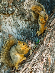 Fox Squirrels (http://fineartamerica.com/profiles/robert-bales.ht) Tags: animals emmett facebook forupload haybales idaho people photo photouploads places projects squirrelorchiper states squirrel easternfoxsquirrel sciurusniger gameanimal animal rodent sciuridae mammal gray bushtail trees peanut nuts squirrelphotography backyardanimal animalphotography beautiful sensational spectacular scenicphotography awesome magnificent peaceful surreal sublime magical inspiring inspirational canonshooter scenic wildlife sciurus whiskers fox cute furry nature robertbales iphone