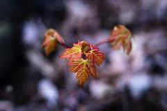 macro printemps2016mai10-6 (danlalan7) Tags: flou bleu dtail feuille macroprintemps2016 orange plante pousse rouge