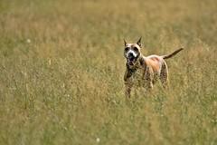Throw me a stick ?  :) (Pics4life.nl) Tags: dog field sunlight netherlands nikon grass alert fun ask love sigma pet huisdier hond playing
