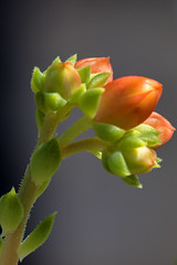 Echeveria Flowers (3) (bidkev1 and son (see profile)) Tags: bush canonphotography cultivate echeveria fern fineartphotography flora flowers fungi gardening grow horticulture kevindickinsonfineartphotography landscaping tree vegetation