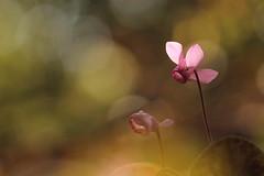 Ossessione settembrina. (SimonaPolp) Tags: cyclamen ciclamino flower fiore nature natura bokeh macro canon wood forest bosco sun sole light sunlight luce day soffaino purple leaves